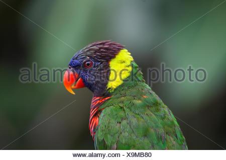 Rainbow lory, Rainbow Lorikeet (Trichoglossus haematodus haematodus), portrait, side view, Australia - Stock Photo