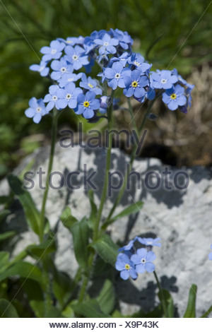 alpine forget-me-not, myosotis alpestris - Stock Photo