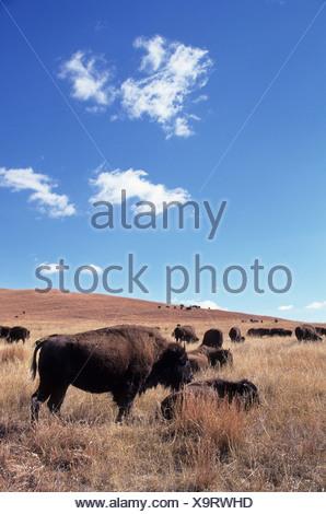 Plains bison (Bison bison bison), Custer State Park, South Dakota, USA - Stock Photo