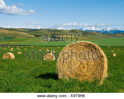 Agriculture - Round hay bales on an alfalfa field in the foothills of the Canadian Rockies in the distance / Alberta, Canada. - Stock Photo