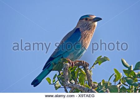 Indian roller or blue jay roller coracias benghalensis Sri Lan - Stock Photo