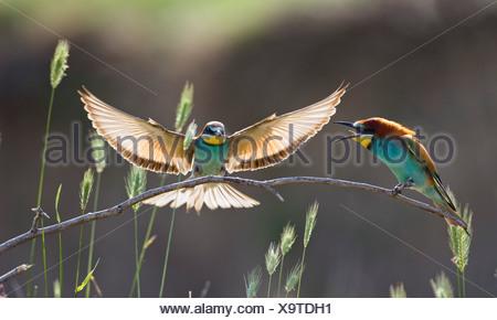 European Bee-easters (Merops apiaster), pair, perched on twig, Bulgaria, Europe - Stock Photo