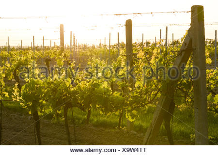 Vine yard, Czech Republic, Southern Morava, Valtice - Stock Photo