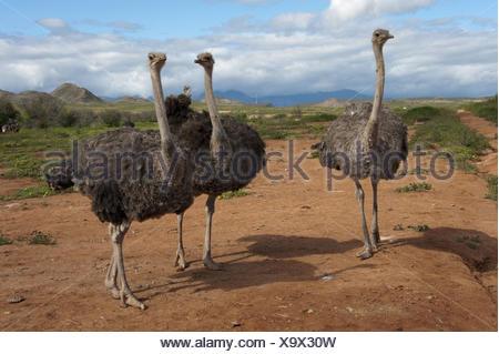 ostrich (Struthio camelus), three ostriches standing in savanna, South Africa, Western Cape - Stock Photo