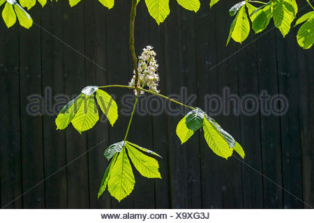 common horse chestnut (Aesculus hippocastanum), flowering horse chestnut in front of a barn door, Germany, North Rhine-Westphalia - Stock Photo