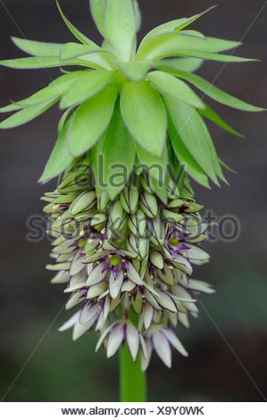 Eucomis comosa bicolour, Pineapple flower, Green. - Stock Photo