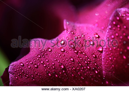 Pink petals of a Peony (Paeonia officinalis), covered with water drops - Stock Photo