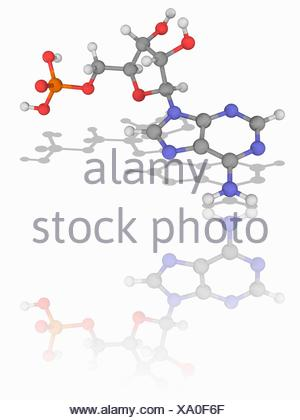 Adenosine monophosphate. Molecular model of the nucleic acid subunit adenosine monophosphate (AMP, C10.H14.N5.O7.P). This nucleotide occurs in ribonucleic acid (RNA), and is formed of a phosphate group, the sugar ribose, and the nucleobase adenine. Atoms are represented as spheres and are colour-coded: carbon (grey), hydrogen (white), nitrogen (blue), oxygen (red) and phosphorus (orange). Illustration. - Stock Photo