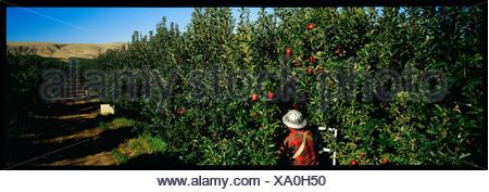 Panoramic view of a person picking apples in an orchard. - Stock Photo
