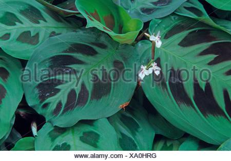 Prayer Plant (Maranta leuconeura), leaves - Stock Photo