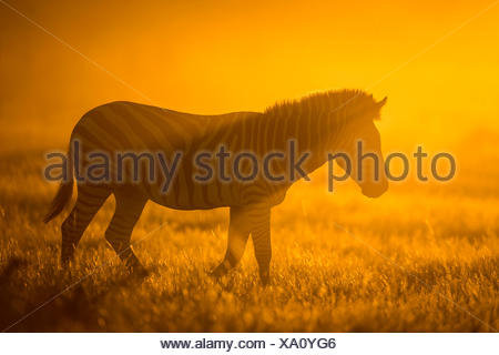 Plains zebra (Equus quagga) at sunset,  Savuti Marsh, Botswana. - Stock Photo