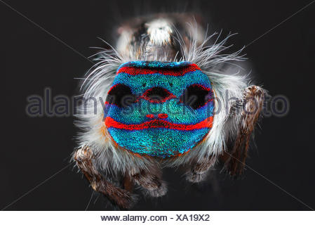 A shot showing the back patterns and colours of a Male Maratus speciosus 'peacock spider'. - Stock Photo