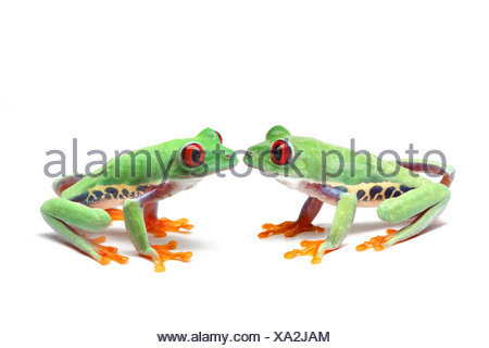 Two Red-eyed Tree Frogs (Agalychnis callidryas) sitting opposite one another - Stock Photo