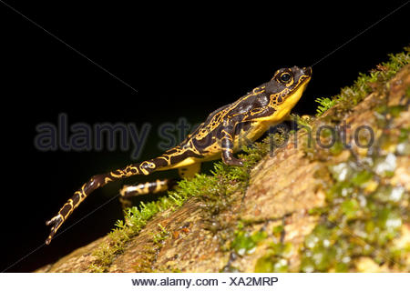 photo of a common harlequin toad walking on a tree trunk - Stock Photo