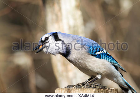 Blue Jay (Cyanocitta cristata) with a peanut in its beak, Lynde Shores Conservation Area, Whitby, Ontario, Canada - Stock Photo
