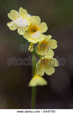 Oxlip (Primula elatior), with snow in Wutachschlucht gorge, Black Forest, Baden-Wuerttemberg, Germany, Europe - Stock Photo