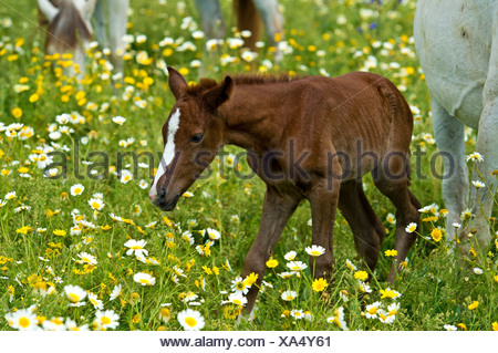 Newborn Arabian foal taking its first steps on a flower meadow, Andalusia, Spain - Stock Photo