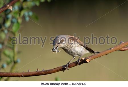 red-backed shrike, Lanius collurio, songbirds, passerines, birds of passage, migrating birds, animal, animals, Germany, Europe, - Stock Photo