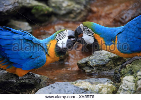 Blue and yellow macaw, Blue and gold Macaw, Blue-and-gold Macaw, Blue-and-yellow Macaw (Ara ararauna), pair billing - Stock Photo