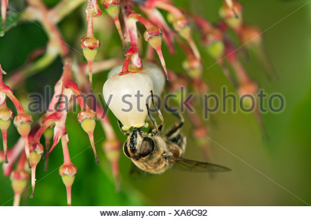 Short-tongued Hoverfly (Villa spec.) drinking from a flower of the Western Strawberry Tree (Arbutus unedo), Europa, Switzerland - Stock Photo
