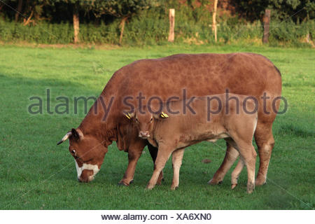 domestic cattle (Bos primigenius f. taurus), and young bull standing on a pasture, Germany, North Rhine-Westphalia - Stock Photo