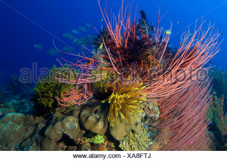 whip fan corals and crinoids - Stock Photo