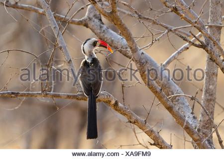 Red-billed Hornbill (Tockus erythrorhynchus) - Stock Photo