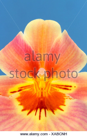 Orchid, Miltonia hybrid, Private Collection - Stock Photo