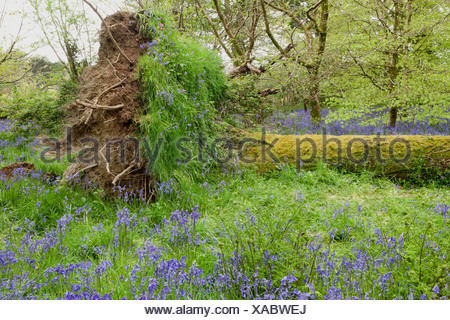 A fallen tree with a carpet of Bluebells in the woods at Lanhydrock House near Bodmin in Mid Cornwall on a spring day. - Stock Photo