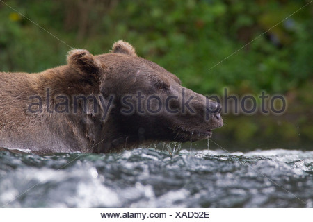 Close up of a Brown Bear fishing for salmon in the Russian River, Kenai Peninsula, Southcentral Alaska, Summer - Stock Photo