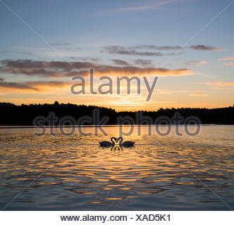 Two swans on lake, Hovekilen, Tromoy, Norway - Stock Photo