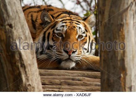Tiger (Panthera tigris), Tiergarten Schönbrunn, Vienna, Vienna State, Austria - Stock Photo