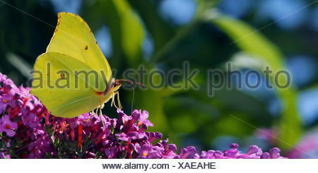 brimstone (Gonepteryx rhamni), sitting on Buddleja, Germany - Stock Photo
