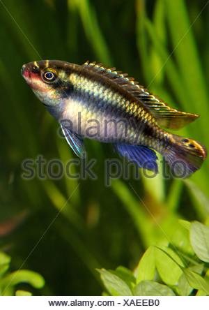 purple cichlid / Pelvicachromis pulcher - Stock Photo