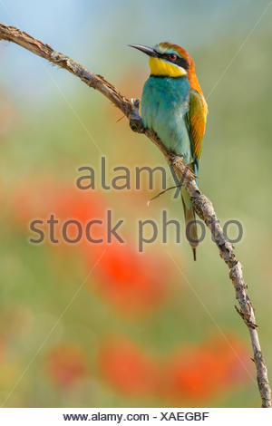 Bee-eater (Merops apiaster), perched, Kiskunság National Park, Hungary - Stock Photo