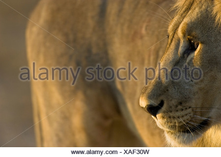 Lion portrait, Etosha National Park, Namibia - Stock Photo