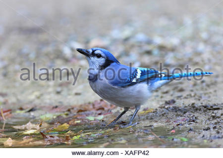 blue jay (Cyanocitta cristata), standing at a drinking place, Canada, Ontario, Point Pelee National Park - Stock Photo