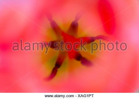 Pistil and stamen in a Tulip (Tulipa) - Stock Photo