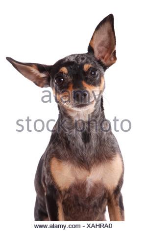 Prager Rattler Portrait - Stock Photo