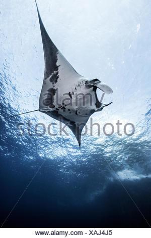 Giant Ocean Manta, underwater view, Socorro, Mexico - Stock Photo