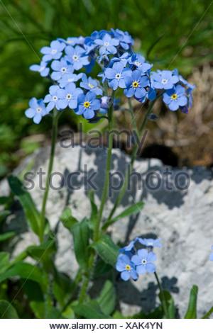 Alpine forget-me-not (Myosotis alpestris), blooming, Switzerland - Stock Photo