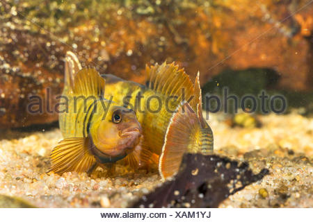 Blaubrust-Springbarsch, Blaubrustspringbarsch (Etheostoma camurum), rivalisierende Maennchen  | Bluebreast Darter  (Etheostoma c - Stock Photo