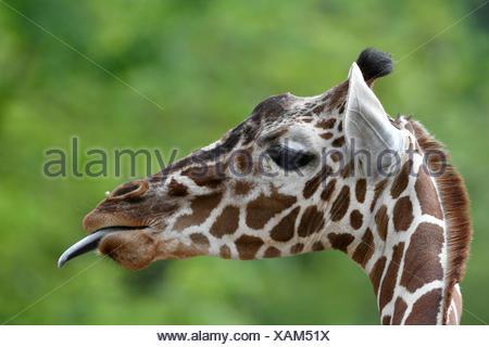 Reticulated Giraffe (Giraffa camelopardalis reticulata), portrait, sticks out tongue, captive - Stock Photo