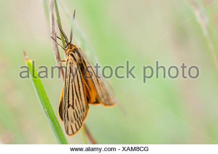 Feathered Footman (Spiris striata) - Stock Photo