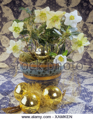 bouquet: Christmas roses / Helleborus niger - Stock Photo