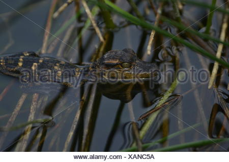 A baby alligator swimming in a swamp. - Stock Photo