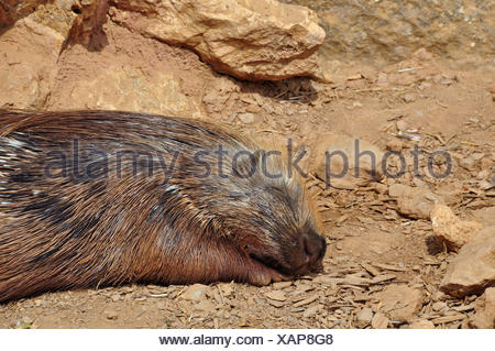 Indian crested porcupine resting on a hot sunny day. Sleeping animal. - Stock Photo
