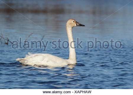 Tundra Swan (Cygnus columbianus) in a pond in the tundra near Churchill, Manitoba, Canada. - Stock Photo