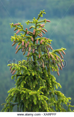 Common spruce (Picea abies), young cones, Lower Saxony, Germany - Stock Photo