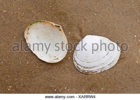 Peppery furrow clam, Peppery furrow shell (Scrobicularia plana), shells on the beach, Germany - Stock Photo